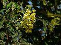 Caesalpinia decapetala (3132918918).jpg