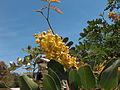 Caesalpinia spinosa.jpg