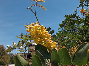Tara spinosa - Image: Caesalpinia spinosa