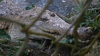 Crocodylus - Image: Caiman del orinoco, Amazonas