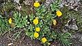 Calendula officinalis. Maraviya.jpg