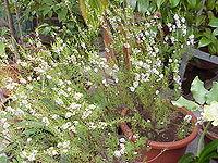 Caleonema pulchrum1.jpg