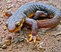 California Newt (Taricha torosa) (4415749606).jpg