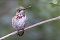 Calliope Hummingbird by Dan Pancamo.jpg