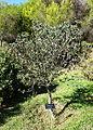 Callistemon pallidus - Jardín Botánico de Barcelona - Barcelona, Spain - DSC08917.JPG
