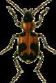 Callistus lunatus Jacobson.png