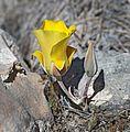 Calochortus kennedyi var. munzii (desert mariposa lily) (33085146321).jpg