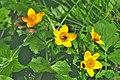 Caltha palustris ENBLA11.jpg