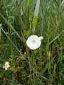 Calystegia sepium flower2.jpg