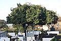 Camélia japónica no Cemitério de Agrela - 17.jpg