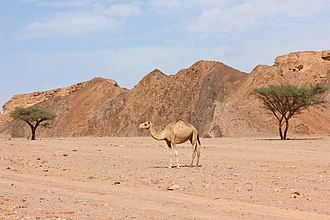 Nuweiba - Camel in Nuweiba