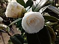 Camellia japonica 2-καμέλια ιαπωνική.jpg