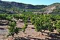 Camp de tarongers darrere l'ermita, Benifairó de les Valls.jpg