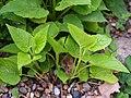 Campanula latifolia subsp. latifolia Dzwonek szerokolistny 2019-05-03 03.jpg