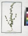 Campanula pentagonia, perfoliata. (Five petaled bell blower) (NYPL b14444147-1125003).tiff