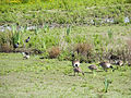 Canada geese and goslings (14377141011).jpg