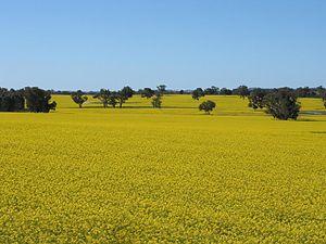 Kojonup, Western Australia - Canola crop near Kojonup