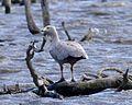 Cape Barren goose (Cereopsis novaehollandiae) - Flickr - Lip Kee.jpg