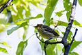 Cape May Warbler (7235502286).jpg