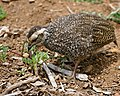 Cape Spurfowl (Pternistis capensis) juvenile (32588011500).jpg