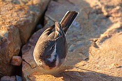 Cape Wagtail (Turned Head).jpg