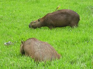 Grazing - Capybara is one of several coprophagous herbivores.