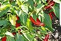 Capsicum annuum Garden Salsa 1zz.jpg