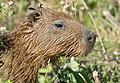 Capybara (Hydrochoerus hydrachaeris) juvenile close-up.jpg