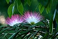 Carbonero rosáceo (Calliandra sp.) - Flickr - Alejandro Bayer (1).jpg