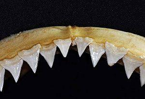 Oceanic whitetip shark - Upper teeth