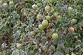 Cardiospermum halicacabum - Balloon-vine, Adana 2017-11-19 01-1.jpg