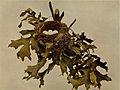 Carduelis tristis 1904.jpg