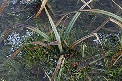 Carex-flacca-winter1.jpg