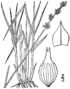 Carex echinata ssp echinata drawing 1.png