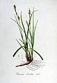 Carex hirta — Flora Batava — Volume v6.jpg