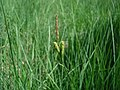 Carex pallescens inflorescens (26).jpg