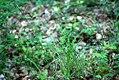 Carex pallescens plant (1).jpg