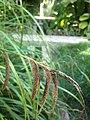 Carex pendula inflorescens (26).jpg