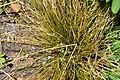 Carex testacea 01.jpg