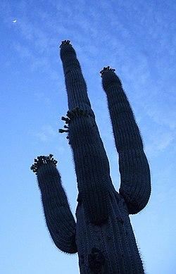 Saguaro nightbloom.jpg