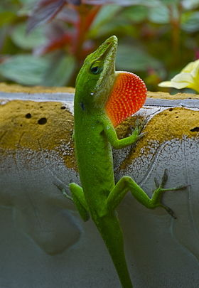 Carolina anole (Anolis carolinensis) with red throat expanded.jpg