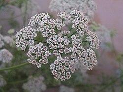 250px-Carom_Flowers.jpg