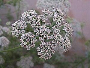 Ajwain - Flowers of Trachyspermum ammi