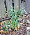 Carpenteria californica - Regional Parks Botanic Garden, Berkeley, CA - DSC04304.JPG