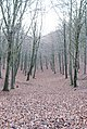 Carpet of leaves in Melbury Wood - geograph.org.uk - 620423.jpg