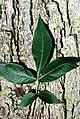 Carya glabra USDA.jpg