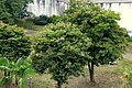 Casco de buey (Bauhinia variegata) (14986654821).jpg