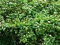 Casco de buey - Casco de vaca (Bauhinia variegata) (14965295158).jpg
