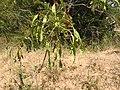 Cassia auriculata-3-mundanthurai-tirunelveli-India.jpg