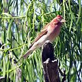 Cassin's Finch (18247998159).jpg